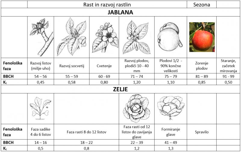 Fenološke faze rastlin, upoštevane v sistemu SPON, za primer trajne (jablana) in netrajne (zelje) rastline. (prirejeno po Uwe M., 2001)